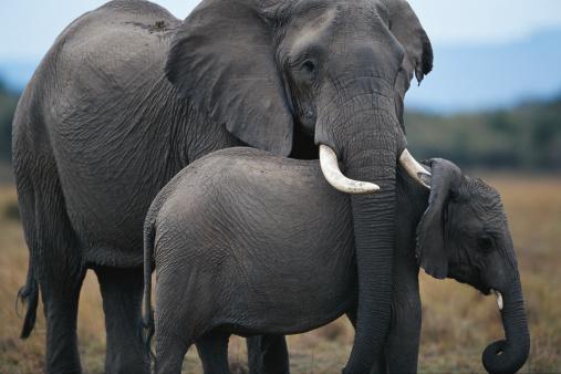 象「African elephant (Loxodonta africana) and calf, Masai Mara N.R, Kenya」:スマホ壁紙(3)