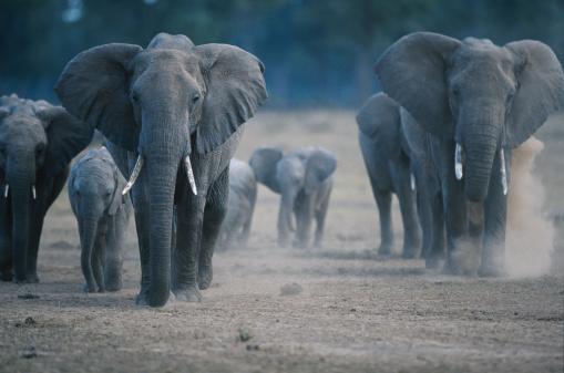 Elephant「African elephants (Loxodonta africana) on the move, Masai Mara, Kenya」:スマホ壁紙(4)