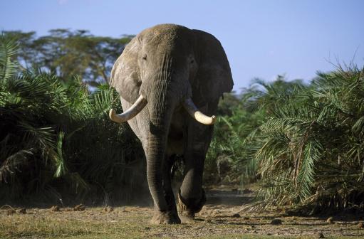 Elephant「african elephant loxodonta africana bull amboseli np, kenya」:スマホ壁紙(17)