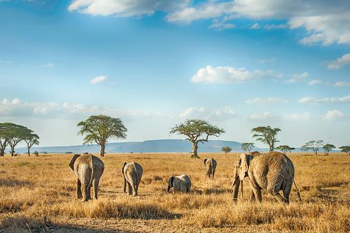 Elephant「African Elephants in the plains of Serengeti, Tanzania」:スマホ壁紙(2)