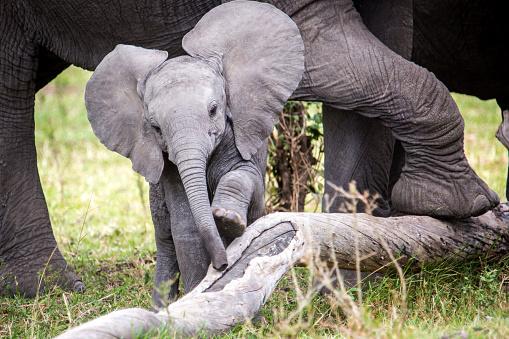 Masai Mara National Reserve「African elephant (Loxodonta africana) calf, Masai Mara National Reserve, Kenya」:スマホ壁紙(16)