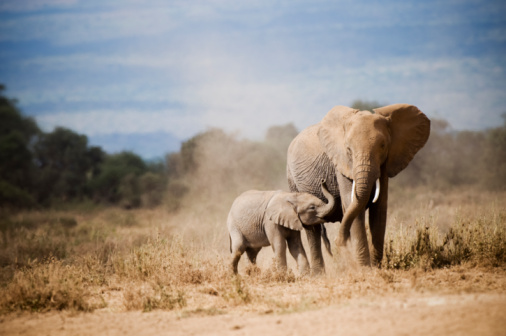 Animal Family「African Elephant Mother and calf」:スマホ壁紙(12)