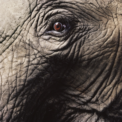 Sensory Perception「African elephant's eye, close-up」:スマホ壁紙(14)