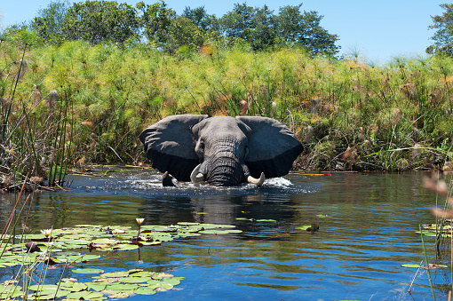 Wildlife Reserve「African elephant taking a bath in the wetlands of the Okavango Delta in Botswana」:スマホ壁紙(14)