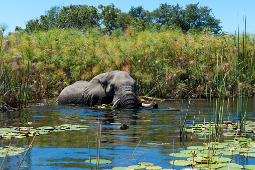 Elephant「African elephant taking a bath in the wetlands of the Okavango Delta in Botswana」:スマホ壁紙(19)