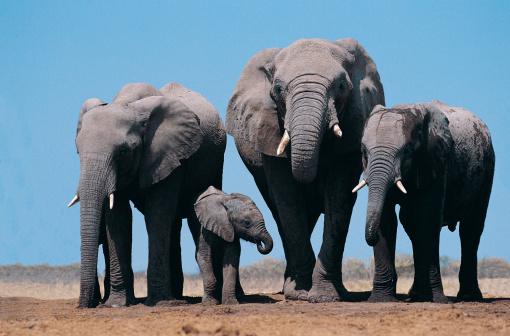 Namibia「African Elephants (Loxodonta Africana)」:スマホ壁紙(9)