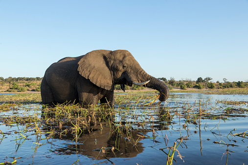Chobe River「African Elephant in River, Botswana」:スマホ壁紙(18)
