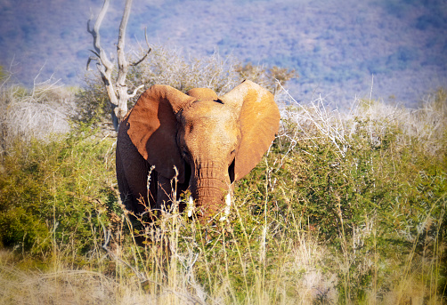 The Nature Conservancy「African elephant standing in the bushes and looking at the camera in the Madikwe Game Reserve in South Africa」:スマホ壁紙(7)