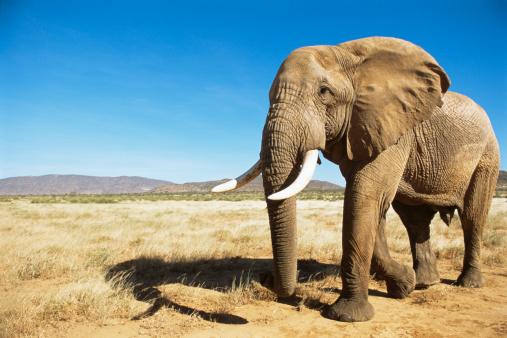Strength「African elephant (male) encounter at dawn」:スマホ壁紙(7)