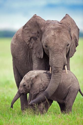 Three Quarter Length「African elephant calf walking with a sub-adult」:スマホ壁紙(19)