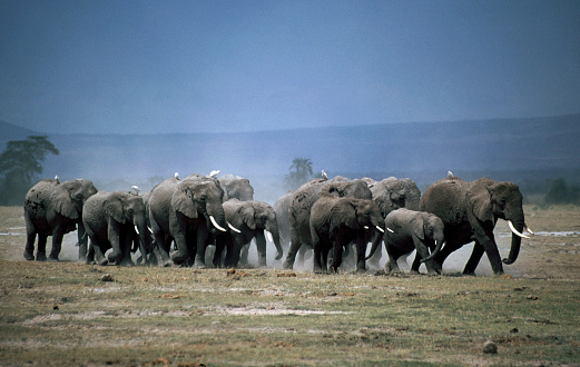International Biosphere Reserves「African Elephant family in Amboseli」:スマホ壁紙(19)