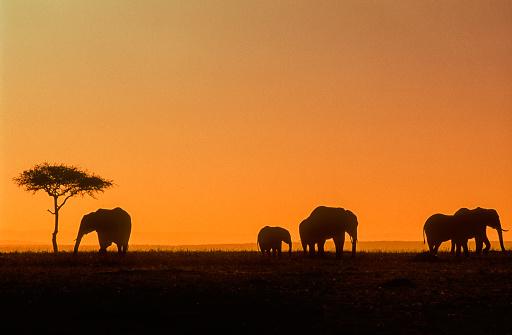 象「African elephants at sunset」:スマホ壁紙(16)