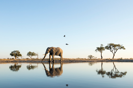 Elephant「African Elephant at Water Hole, Botswana」:スマホ壁紙(4)
