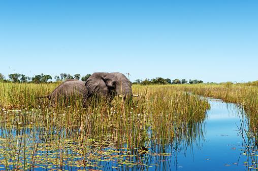 Okavango Delta「African elephant wading through the wetlands , Botswana」:スマホ壁紙(15)