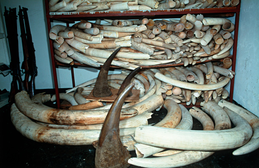 Horned「African elephant (Loxodonta africana) Confiscated elephant ivory and rhino horn © M. Harvey AF_CI_015」:スマホ壁紙(2)