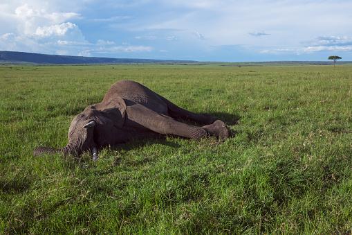質感「African elephant lying dead」:スマホ壁紙(4)