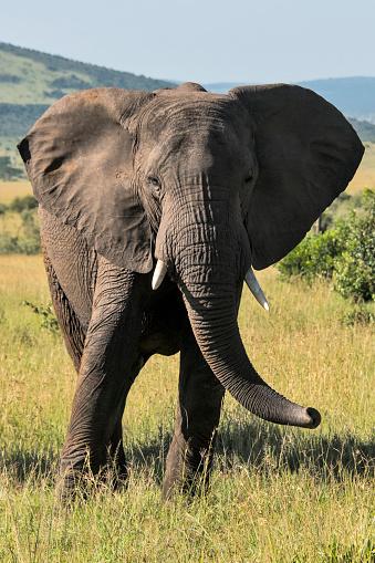African Elephant「African Elephant」:スマホ壁紙(17)