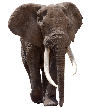 Animal Themes「African Elephant Clipped」:スマホ壁紙(5)