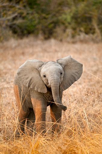 Baby animal「African Elephant Calf」:スマホ壁紙(19)