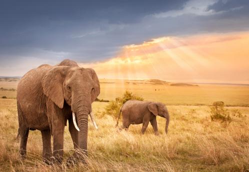 象「日没の光の中のアフリカ象」:スマホ壁紙(18)