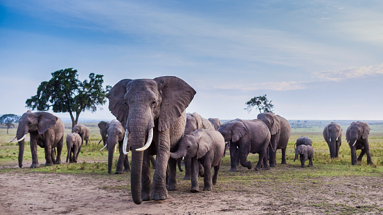 Masai Mara National Reserve「African Elephant herd on the move.」:スマホ壁紙(16)
