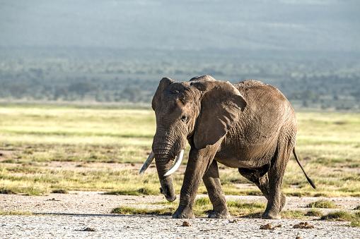 象「アフリカゾウ、アンボセリ」:スマホ壁紙(10)