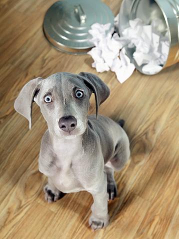 Mischief「Weimaraner puppy getting into garbage」:スマホ壁紙(14)