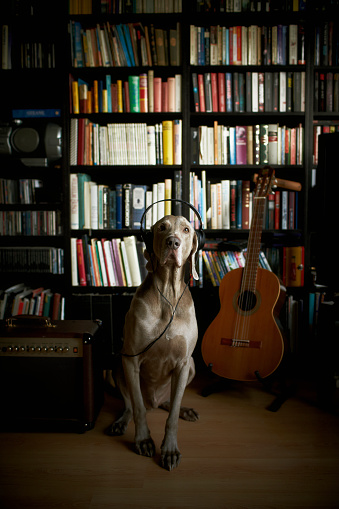 Guitar「Weimaraner dog wearing headphones sitting at book shelf」:スマホ壁紙(8)
