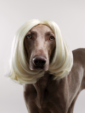 Three Quarter Length「Weimaraner (Canis lupis familiaris) with wig.」:スマホ壁紙(12)