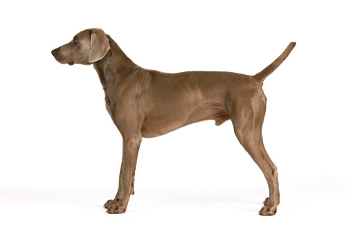 Animal Hair「Weimaraner in his typical pose」:スマホ壁紙(0)
