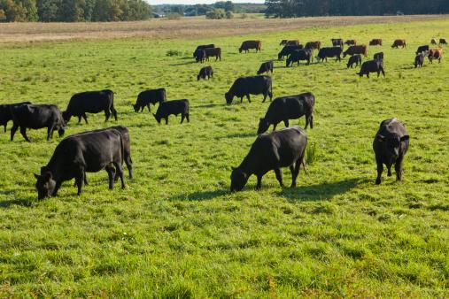 Grazing「Black Angus cattle grazing」:スマホ壁紙(14)