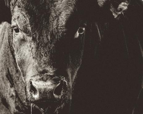 Cattle「ブラックアンガス牛の頭&顔のクローズアップブラック&ホワイト」:スマホ壁紙(9)