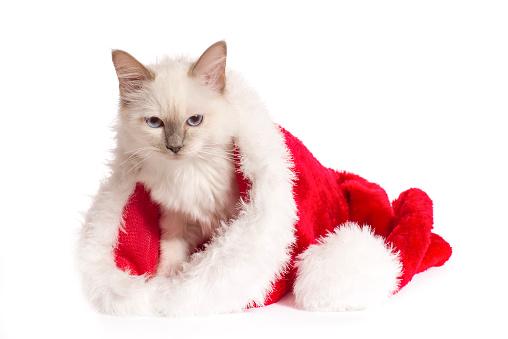 バーマン猫「Christmas shoot with Birman cat」:スマホ壁紙(5)