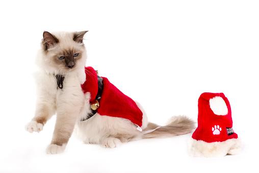 バーマン猫「Christmas shoot with Birman cat」:スマホ壁紙(6)