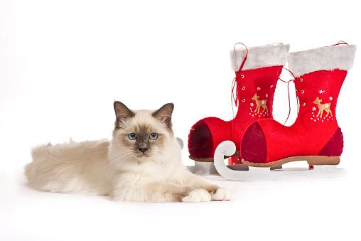 バーマン猫「Christmas shoot with Birman cat」:スマホ壁紙(8)