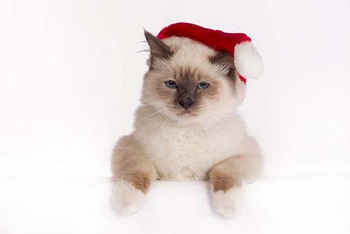 バーマン猫「Christmas shoot with Birman cat」:スマホ壁紙(7)