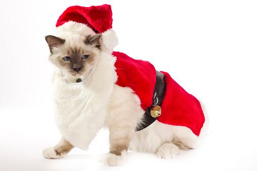 バーマン猫「Christmas shoot with Birman cat」:スマホ壁紙(4)