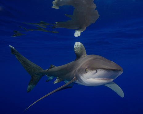 Furious「An oceanic whitetip shark at Cat Island in the Bahamas.」:スマホ壁紙(1)
