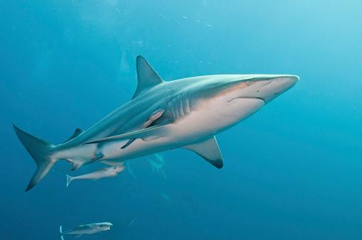 Blacktip Shark「An oceanic blacktip shark with remora, South Africa.」:スマホ壁紙(18)