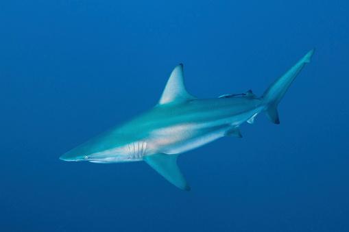 Blacktip Shark「An oceanic blacktip shark, South Africa.」:スマホ壁紙(9)