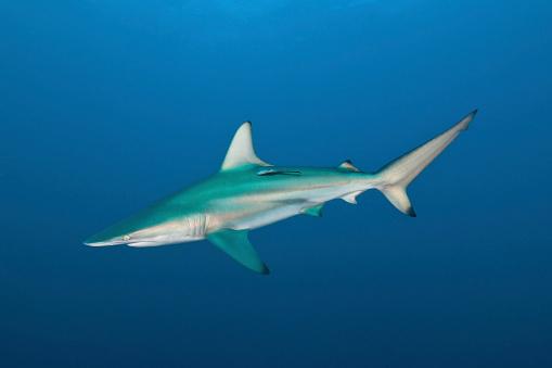 Blacktip Shark「An oceanic blacktip shark, South Africa.」:スマホ壁紙(19)