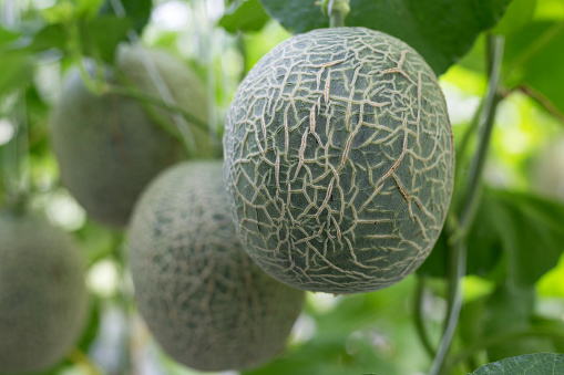 メロン「Melons hanging on tree in greenhouse, Sakon, Nakhon, Thailand」:スマホ壁紙(16)