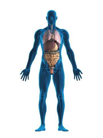Animal Skeleton「Human internal organs」:スマホ壁紙(12)