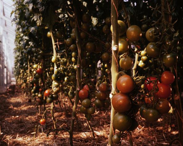 Tomato「Jersey Tomatoes」:写真・画像(3)[壁紙.com]