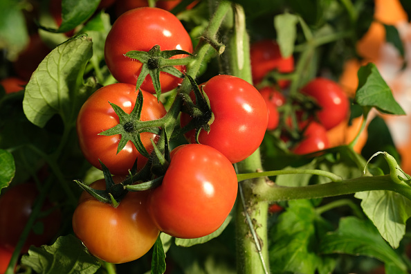 Tomato「Green Week Agricultural Trade Fair Opens In Berlin」:写真・画像(2)[壁紙.com]