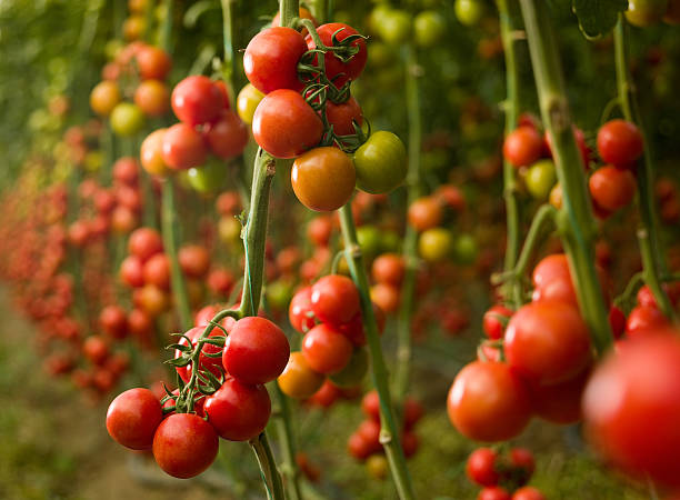 Tomatoes growing in a greenhouse:スマホ壁紙(壁紙.com)