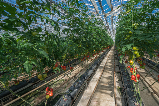 Greenhouse「Tomatoes growing in a greenhouse」:スマホ壁紙(7)