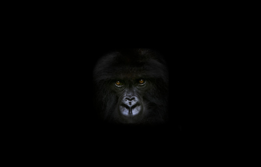 Gorilla「Gorilla in dark area.」:スマホ壁紙(16)