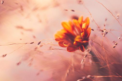 繊細「オレンジ ダリアと観賞用の草を探してエーテル」:スマホ壁紙(19)