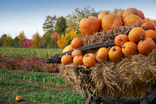 お祭り「Germany, Kirchheimbolanden, harvested pumpkins on a cart」:スマホ壁紙(18)